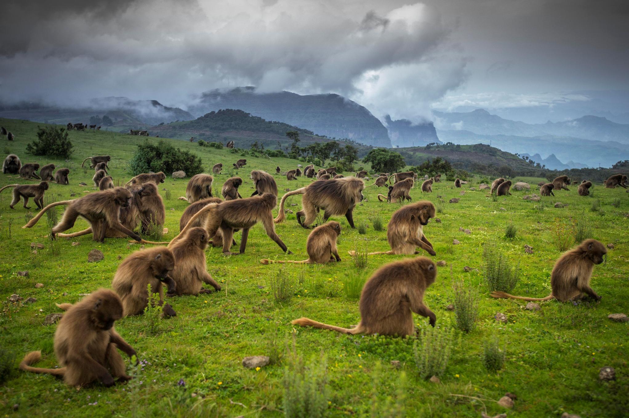 i babbuini Gelada